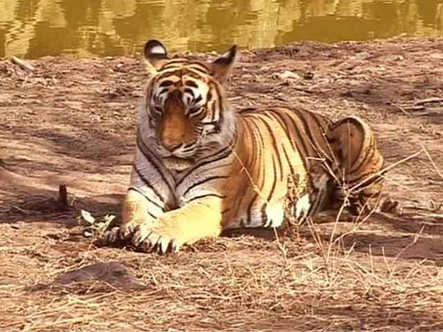 Video : India is Now Home to 70 Percent of the World's Tigers