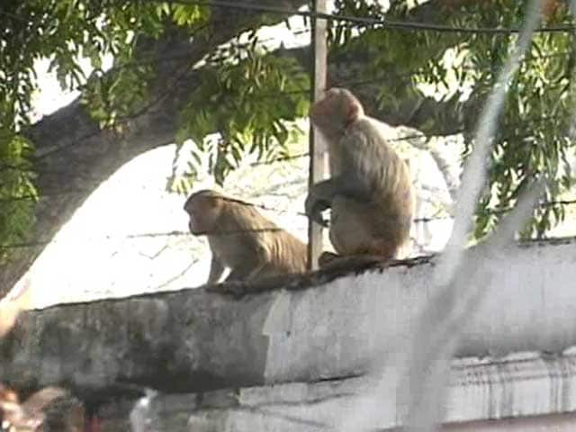 Video : On Republic Day, Keeping the Monkeys Away