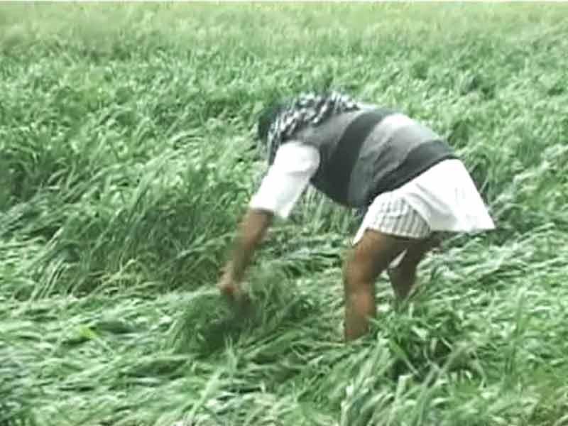 Video : बारिश में गेहूं और सरसों की फसल ख़राब