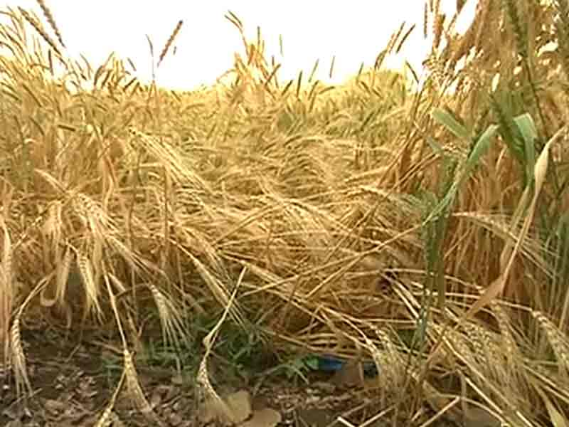 Video : Unseasonal Rains Lash Farmers' Spirits in Maharashtra