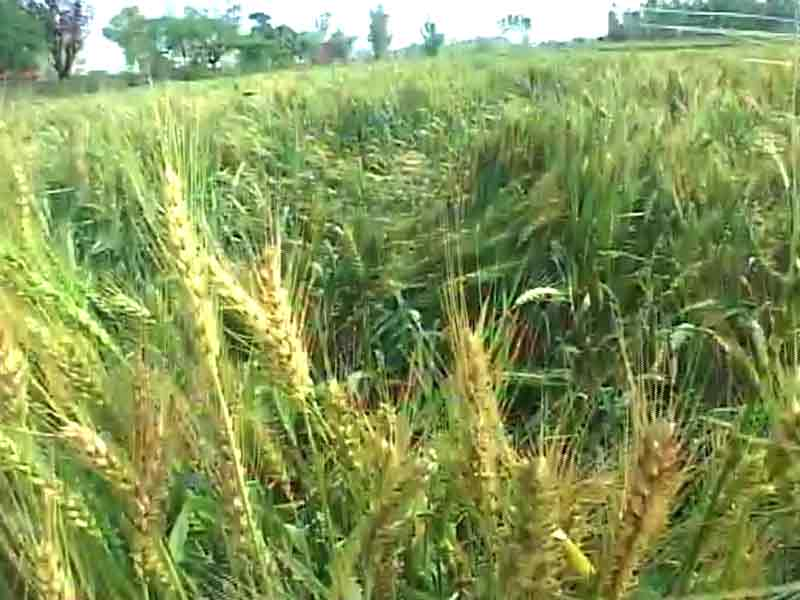 Video : For Uttar Pradesh Farmers Battered by Unseasonal Rain, A Crop Insurance That Offers No Relief