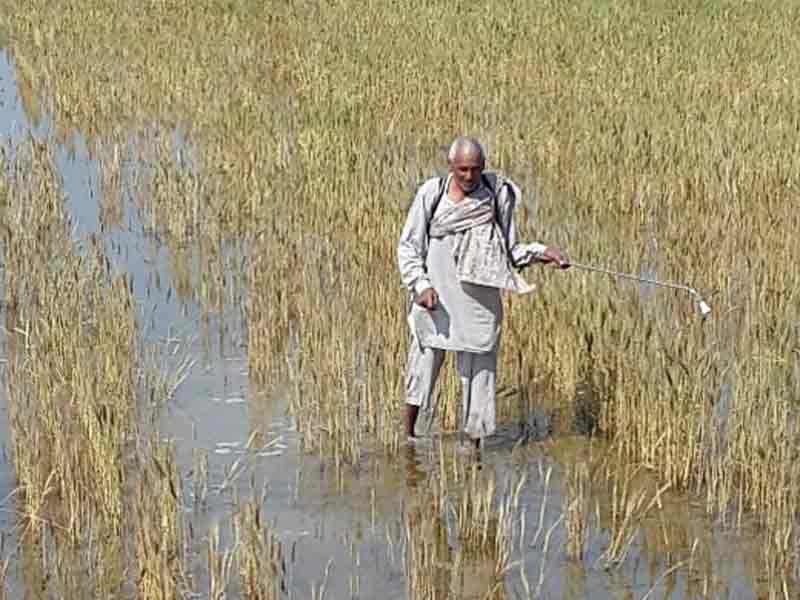 Video : Debt-Ridden Haryana Farmers Talk Suicide as Rains Destroy Crops and Banks Shame Them