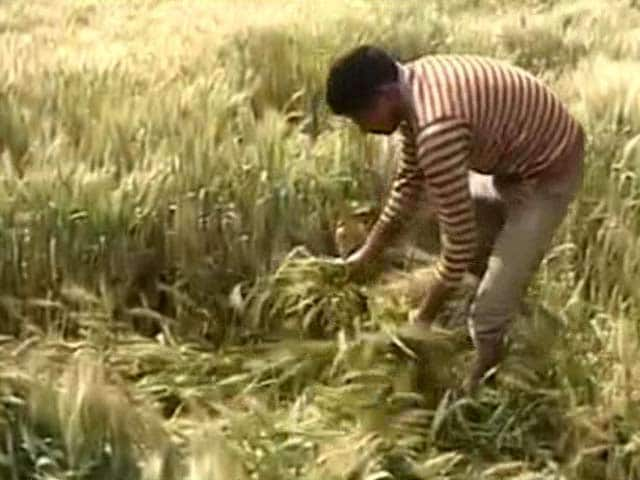 Video : Farmers in Punjab Will Have A Dull Baisakhi This Year