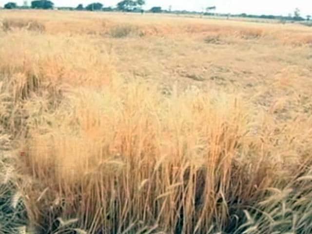 Video : With More Unseasonal Rains Predicted, Farmers Worried in Madhya Pradesh