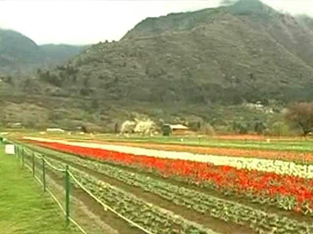 Video : Asia's Largest Tulip Garden is in Full Bloom in Srinagar