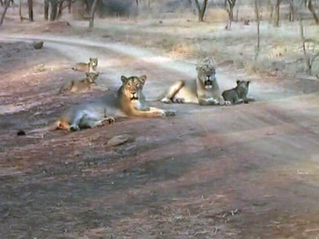 Video : With Rising Numbers, Lions Overflowing Gir? Latest Census Hopes to Find Out