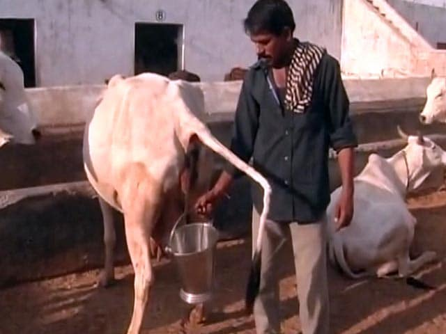 the cleansing properties of cow urine essay Cow urine for cancer treatment due to medicinal propertiescow urine is used in many medicines be used to clean an open wound cow urine consist.