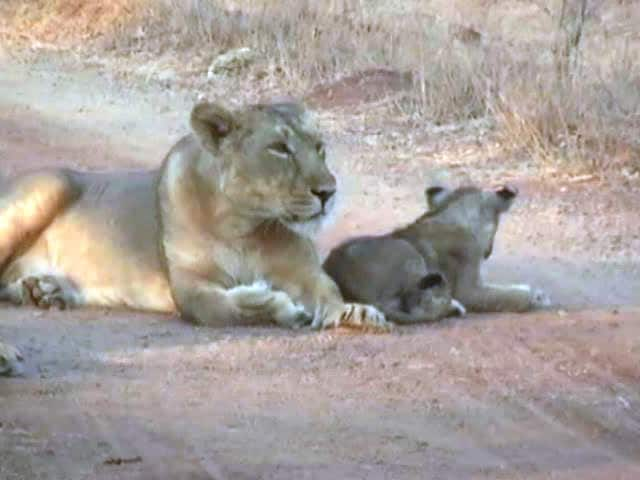 Video : Asiatic Lion Count in Gir Goes Up To 523, Shows Census