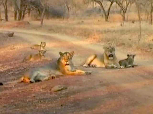 Video : गीर के जंगलों में बढ़ी शेर की संख्या ने बढ़ाई सुरक्षा की चुनौती