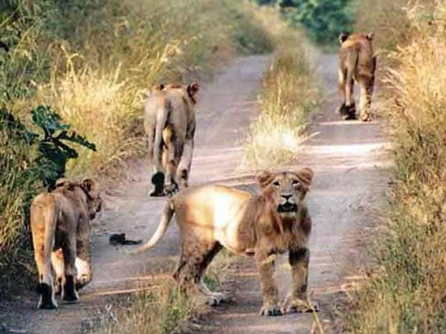 Video : More Lions, More Problems in Gujarat's Gir Wildlife Sanctuary