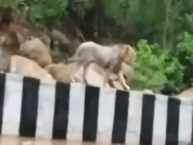 Video : Caught on Camera: This Lion Took a Stroll on a Gujarat Highway