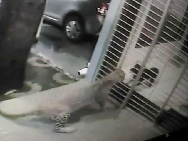 Video : Caught on Camera: Dog Chases Away Leopard From House in Mumbai