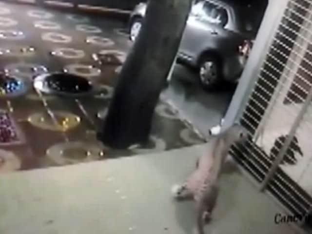 Video : कैमरे में कैद : मुंबई में जब कुत्ते ने खदेड़ा तेंदुए को
