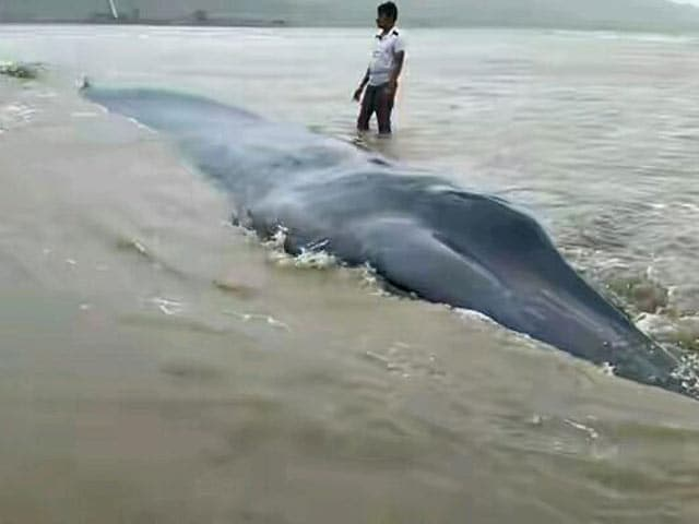 Video : Blue Whale Which Washed Up Near Mumbai Coast is Buried There