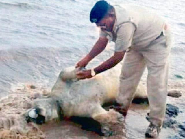 Video : गुजरात में भारी बारिश से आई बाढ़ में छह शेरों की मौत