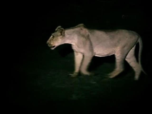Video : Lion Headcount Continues After Floods Wreck Gujarat Forest