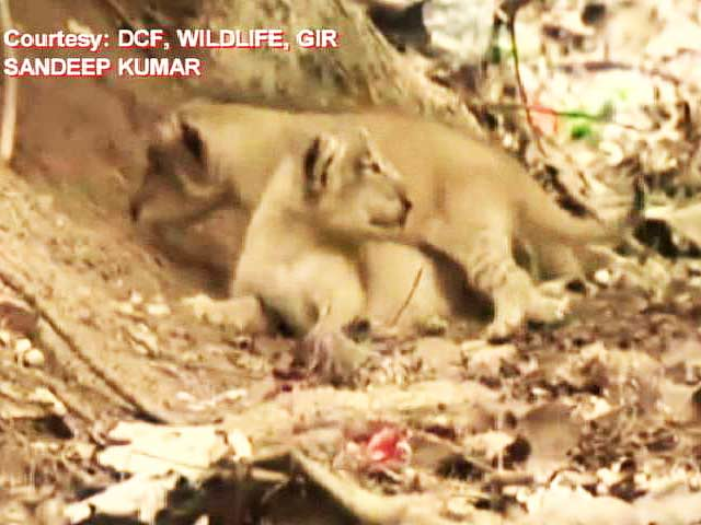Video : TGIF Treat. Video of 11 New Lion Cubs at Gir Sanctuary in Gujarat