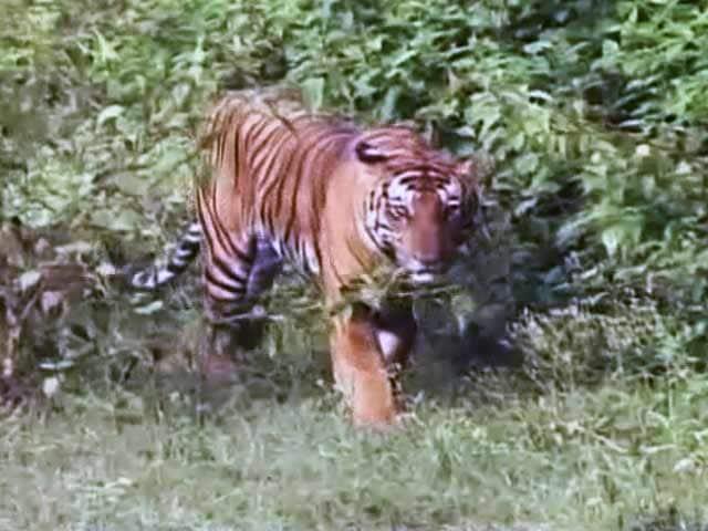 Video : सेव आवर टाइगर्स : बांदीपुर रिजर्व में बाघों को बचाने की चुनौतियां