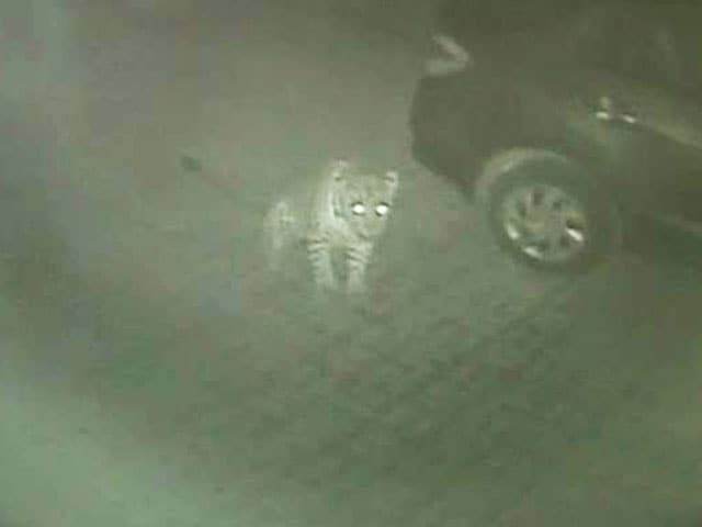 Video : CCTV Catches Leopard and Her Cub Seconds Before Killing Pet Rottweiler in Thane