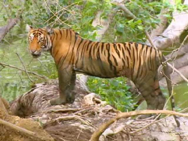Video : Watch: The Controversial Shifting of Ranthambore's Ustad