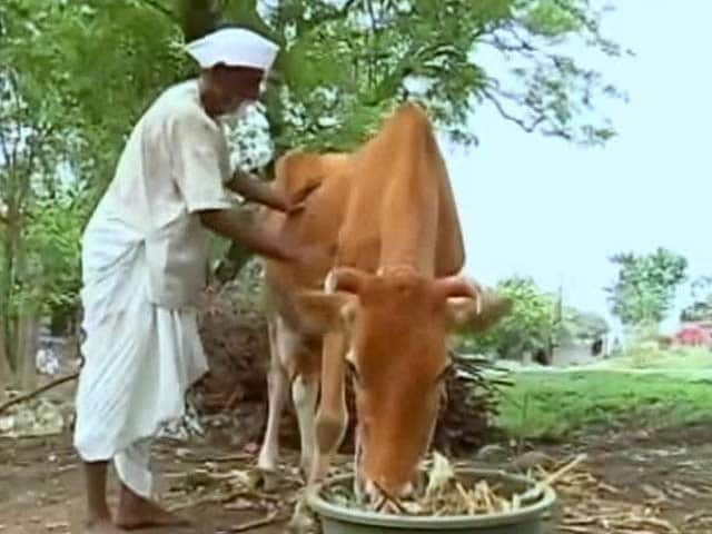 Video : 'I Appeal to PM Modi, Come Here, See What We Are Going Through', Says Beed Farmer