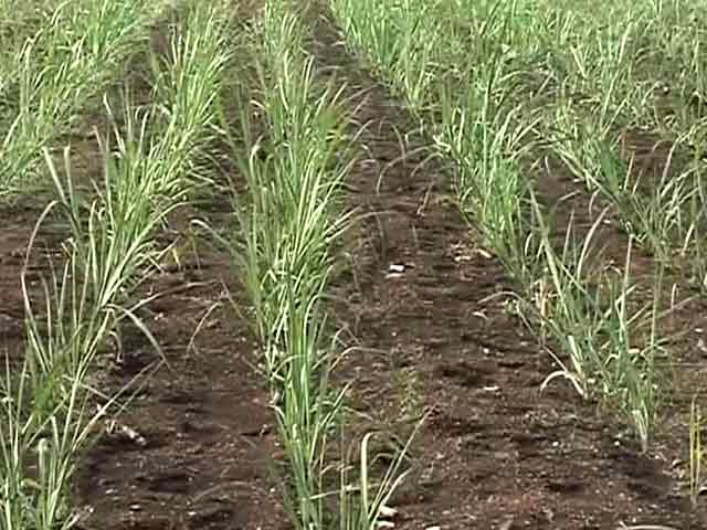 Video : How Maharashtra Politics Fosters A Sugarcane Crop Even During A Drought