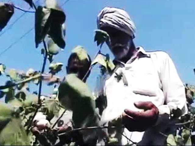 Video : In Punjab, How Failing Pesticides, Seeds Are Claiming Farmers' Lives