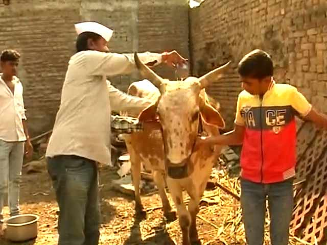 Video : मराठवाड़ा के सूखा पीड़ित किसानों के लिए पोला पर्व भी पड़ा फीका