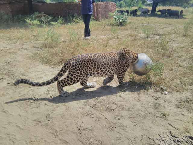 Video : Caught on Camera: Leopard's Head Stuck in Pot in Rajasthan