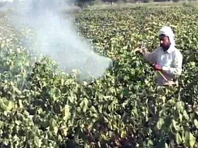 Video : 12 Farmer Suicides in 45 days in Punjab's Cotton Belt