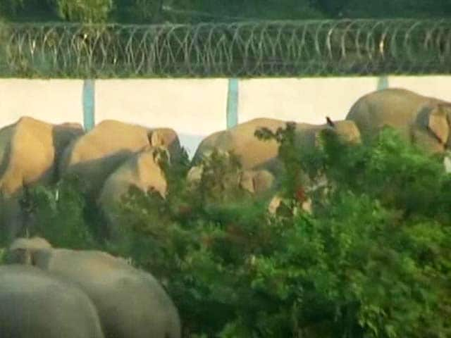 Video : How Development is Killing Assam's Endangered Elephants
