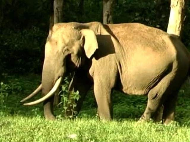 Video : Meet Maniyan, the Friendly Tusker of Wayanad