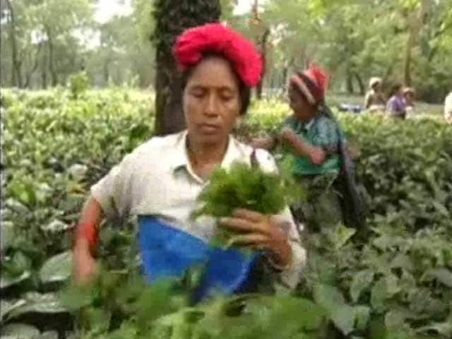 Video : At West Bengal Tea Garden, Workers Claim Death By Distress