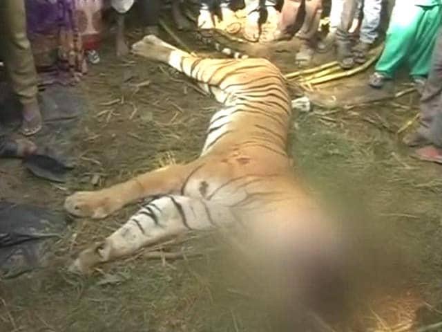 Video : Tiger Beaten to Death by Villagers in Uttar Pradesh's Bijnaur