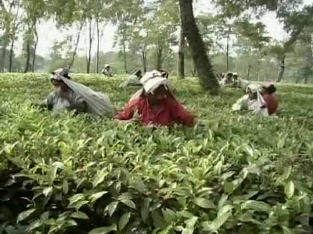 Video : Hard Winter Ahead for Thousands at West Bengal's Tea Gardens