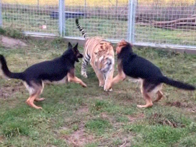 Video : These Dogs and Tigers Are Best Friends