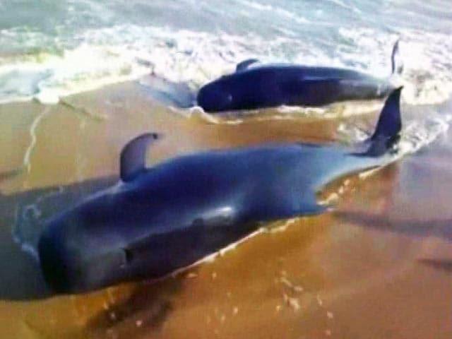 Videos : समंदर के तट पर दिखीं 100 से अधिक व्हेल मछलियां!