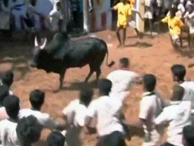 Video : Jallikattu: Tamil Nadu Farmers Still Hopeful Despite Top Court's Stay
