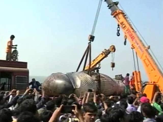 Video : 30-Foot Whale Dead On Mumbai's Juhu Beach, Cranes Remove Body