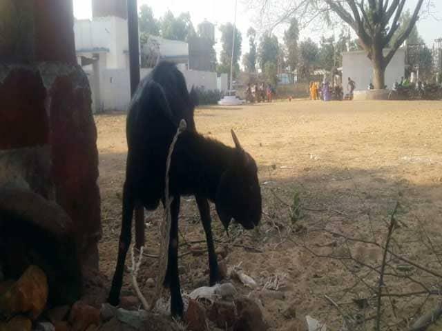 Videos : जज के बंगले की घास चरने की दोषी बकरी छूटी, लेकिन मालिक गया जेल