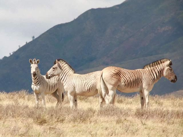 Video : South African Conservationists Seek to Revive Extinct Zebra Species