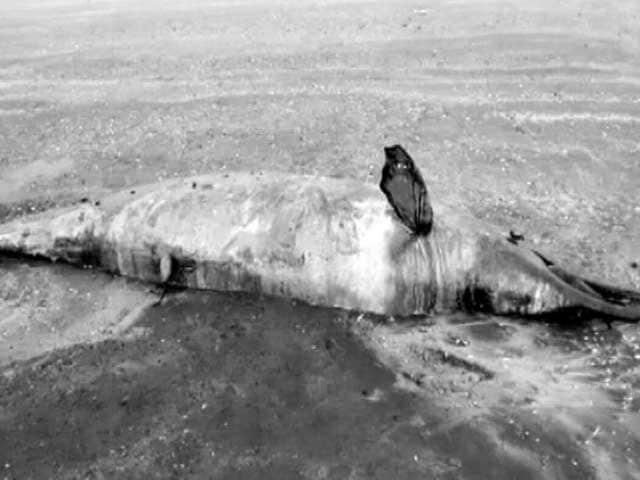Video : Dead Dolphin Washes Up On Beach Near Mumbai