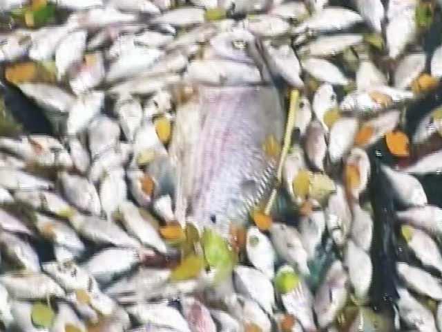 Videos : बेंगलुरू : उल्सूर लेक में हजारों मछलियों की मौत