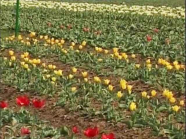 Video : Early Bloom In Srinagar Tulip Garden, Asia's Largest
