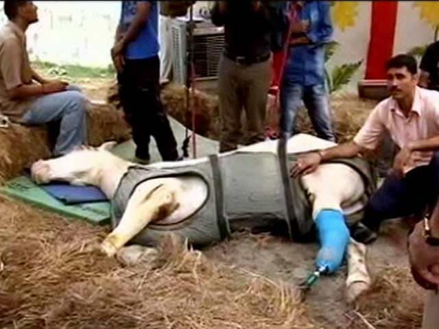 Video : With Help From Home And Abroad, Horse Shaktiman On Road To Recovery