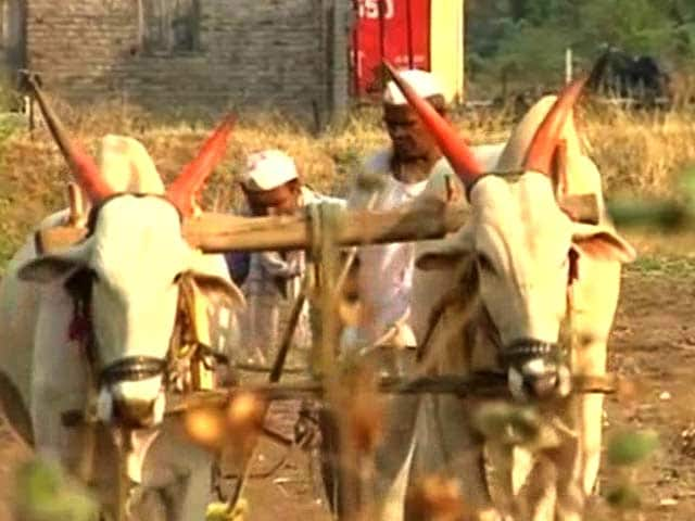 Video : In Maharashtra's Beed, Crops Fail But Toil Continues