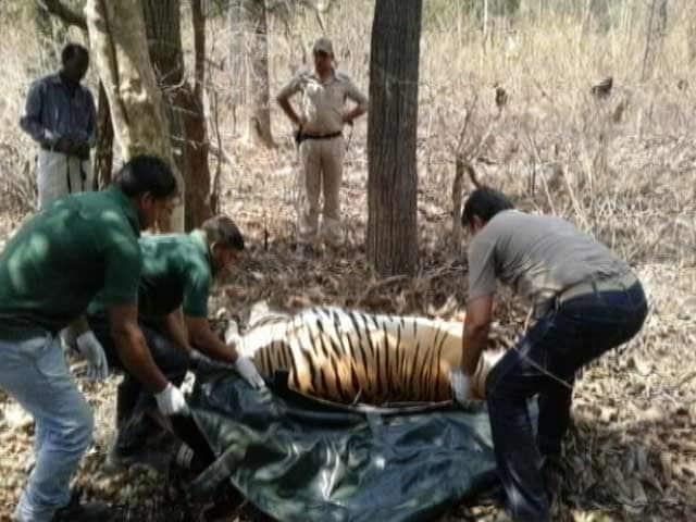 Video : पेंच टाइगर रिज़र्व में तीन महीनों में 11 बाघों की मौत