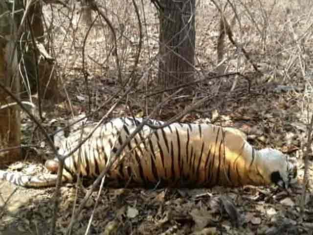 Video : In Park That Inspired Jungle Book, Tiger Deaths Trigger Alarm