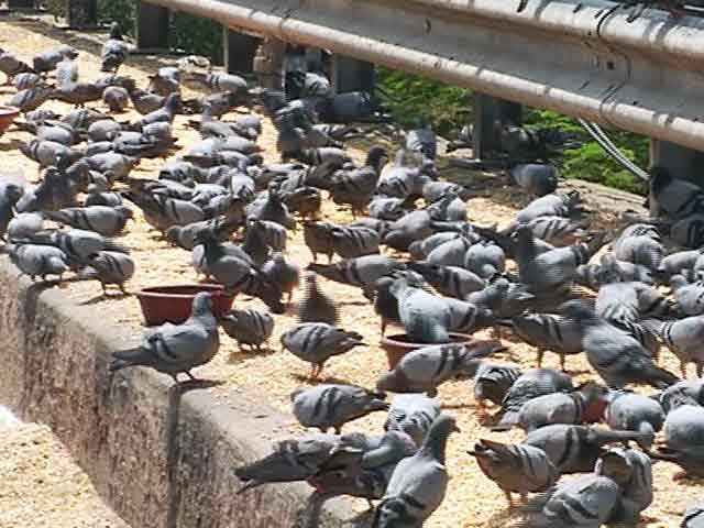 Videos : कबूतरों का दाना-पानी ही इनका रोजगार है...