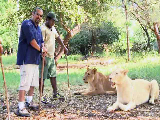 Video : Rocky Walks With Lions in the Casela Safari